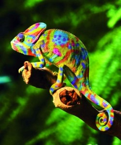 Colorful chameleon
